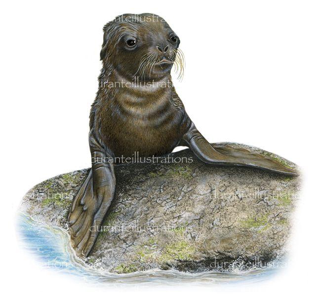 illustrazione di leone di mare juv.