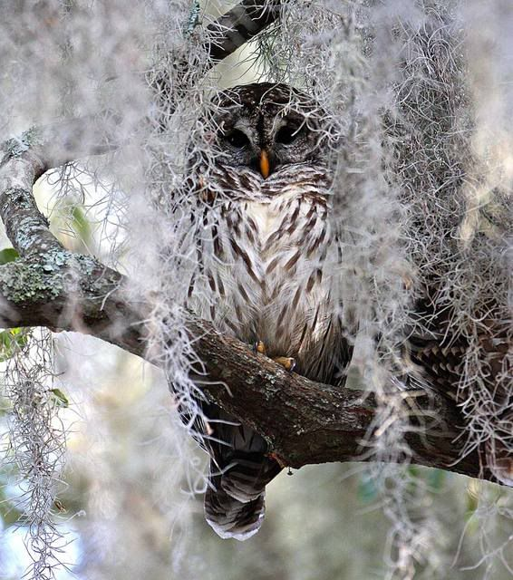Camouflaged Owl