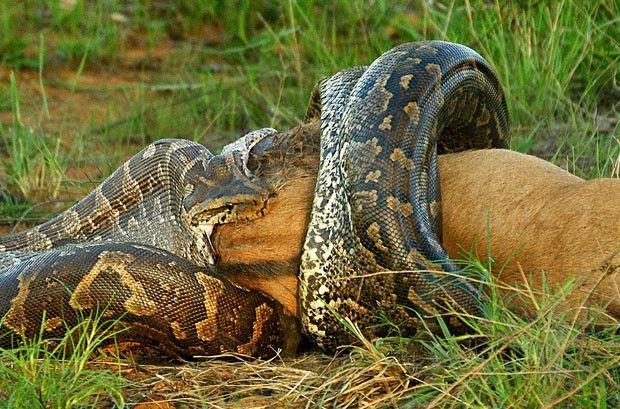Foto de Rudi Hulshof mostra o momento em que a cobra expande sua mandíbula para devorar o gnu (Foto: Caters)