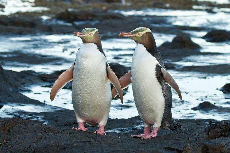 Yellow-eyed Penguins, Curio Bay, New Zealand