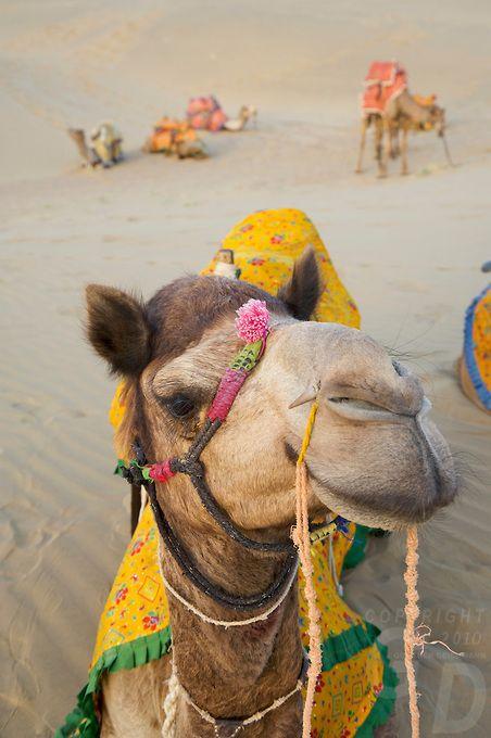 Camels + Sand Dunes of Jaisalmer, Thar Desert, India