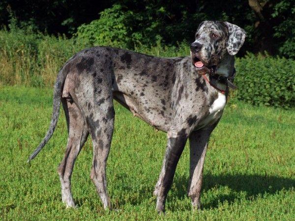 Rassestandard deutsche dogge