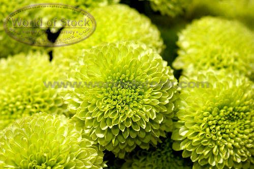Green zinneas--love these!: Google Image, Wedding Ideas, Wedding Flowers, Lime Green, Flowers Inspiration, Green Flowers