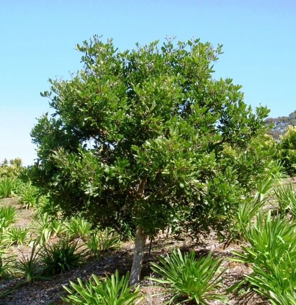 12 best shade trees images on pinterest shade trees for Small garden trees queensland