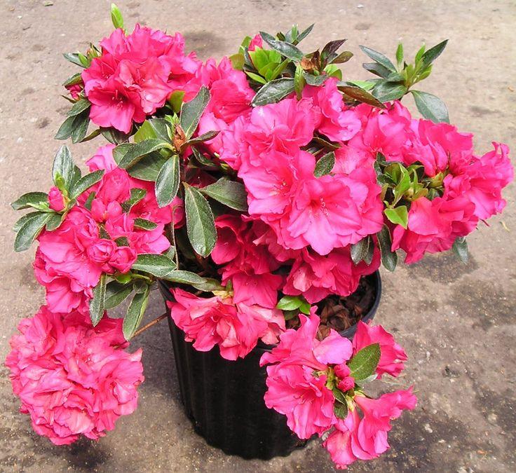 Azalea - Ericaceae - Rhododendron spp  #DeCaliSeHablaBien
