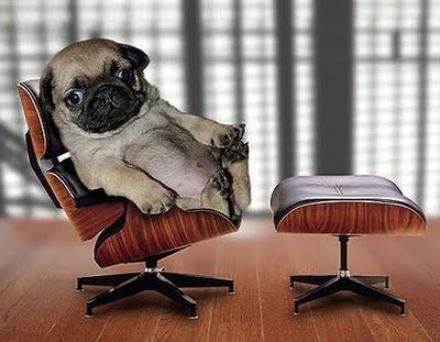 Pug chillin': Animals, Dogs, Boss, Pets, Funny, Pugs, Puppy, Things