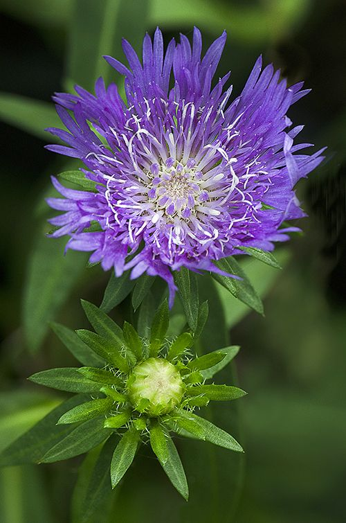 ~~Pincushion flower ~ Scabiosa by Cindy Dyer~~good flower for the garden of a seamstress!