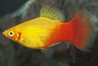 Another New Product On Our Store Now Sunset Platy Xip Check It Out Here Http Www Freshnmarine Com Products Sun Platy Fish Aquarium Fish Freshwater Fish