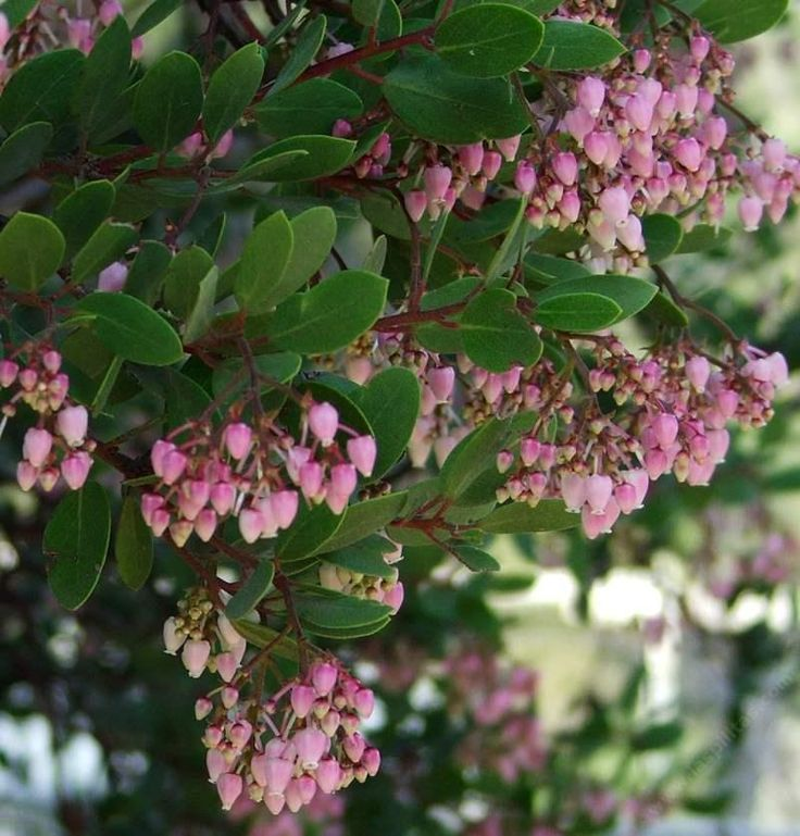 17 Best Images About Arctostaphylos On Pinterest Jade