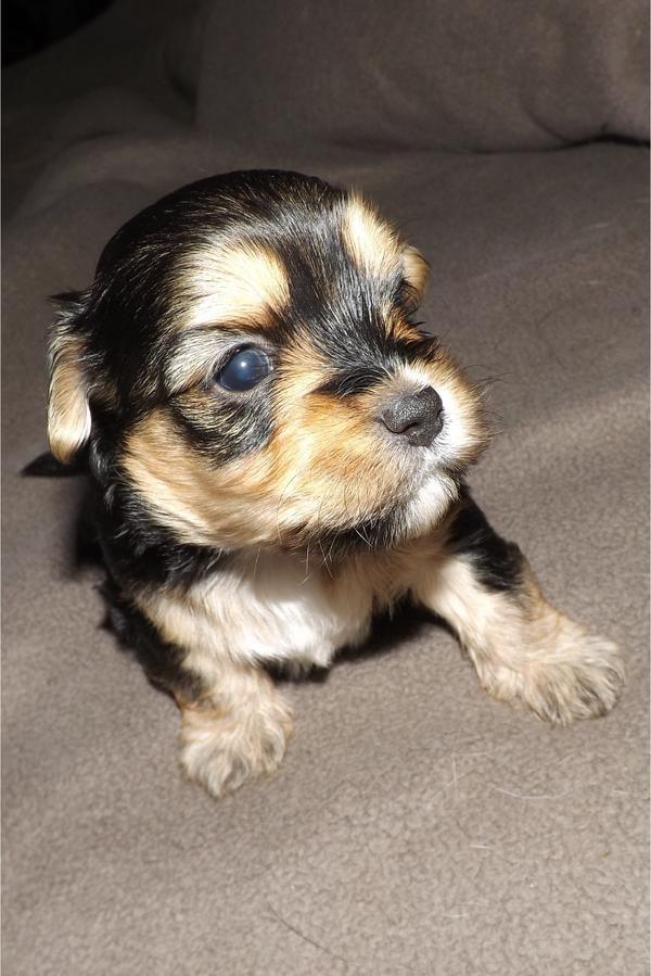 Bolonka Zwetna Babys » Hunde aus Hannover Anderten