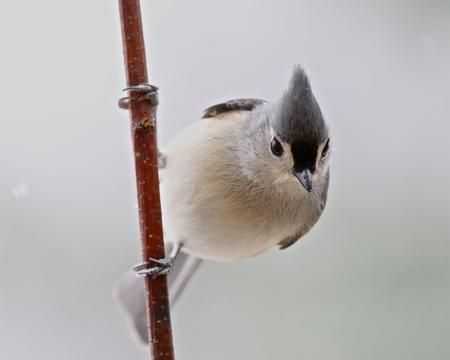 Portrait of a Tufted Titmouse Photo by Steve Easterbrook — National Geographic Your Shot