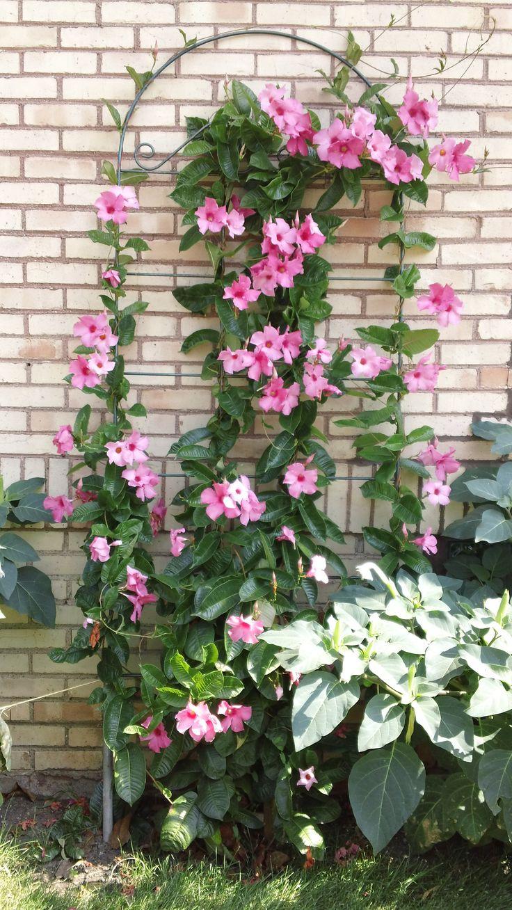 Mandevilla Climbing Flowers Pink Garden