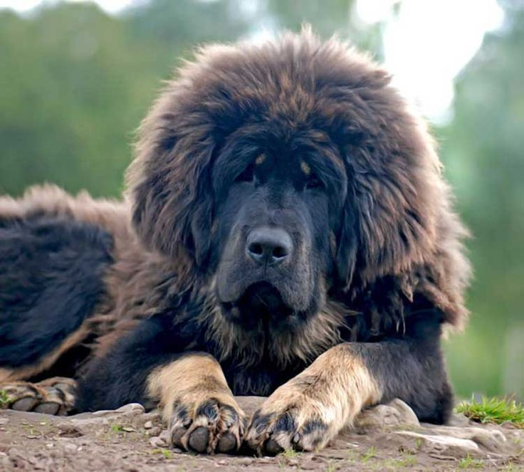 How to groom a Tibetan Mastiff