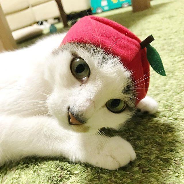 奇譚クラブの新しいシリーズ #ねこフルーツちゃん 🎵 * 被り物嫌すぎてこの表情(笑) * #猫 #レオ #5歳 #愛猫 #reo #leo #ネコ #ねこ #cat #catstagram #ねこら部 #猫のいる暮らし #奇譚クラブ #ねこフルーツちゃんりんご  #がちゃがちゃ