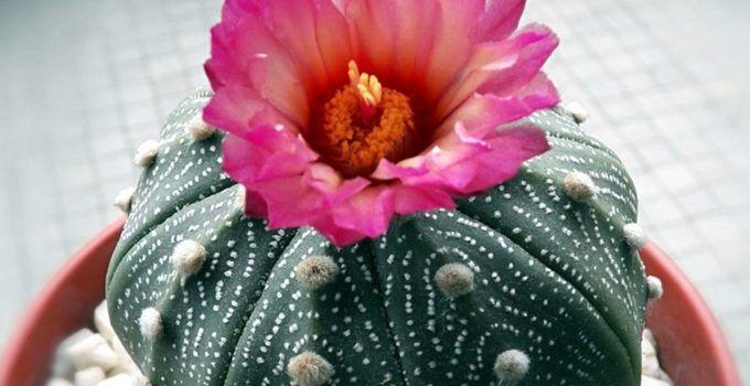 5 tanaman kaktus hias yang tidak kalah indah dengan tanaman hias lainnya