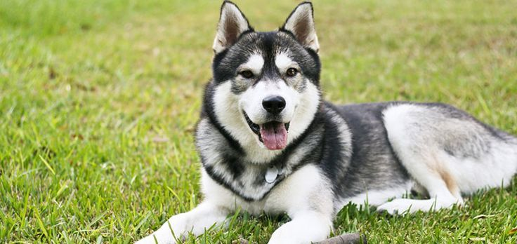 fb3e4f03fd4 Best Brush for Huskies – (and How to Stop Husky Shedding. Dog Grooming  Tricks