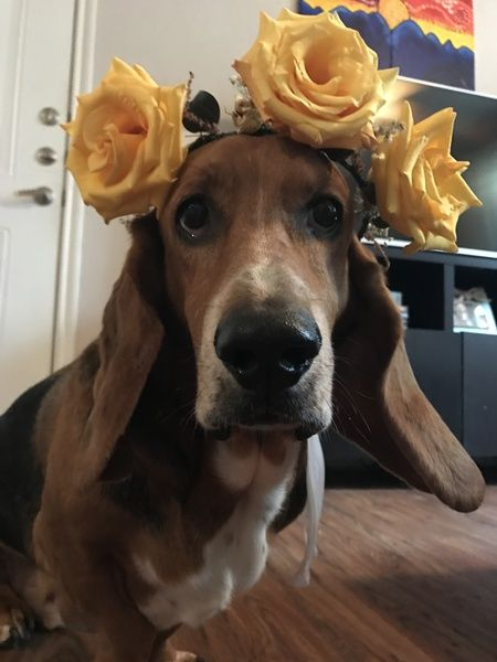 Show your support for North Texas Basset Hound Rescue, Inc by voting for Duke Hughes in the Basset Love Child of the North Texas Basset Hound Shuffle and Games
