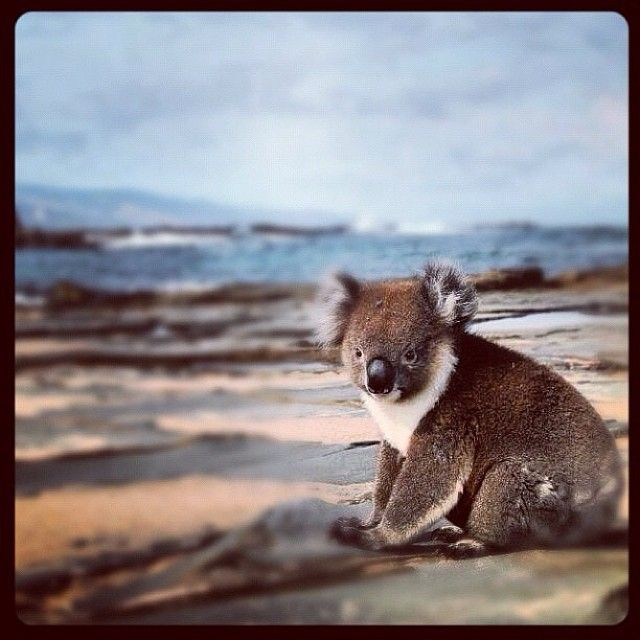 Get to see wildlife in their natural habitat on our tours. Book now at www.backpackerescapes.com.au #koala