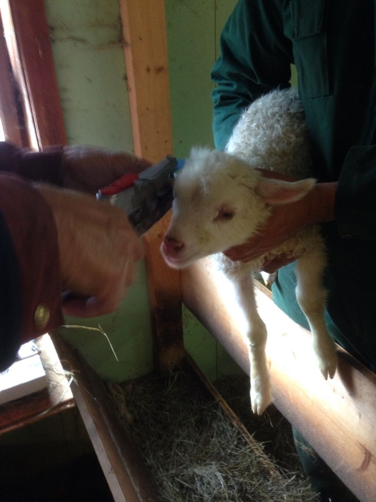 Newborn lamb getting ear tagged.
