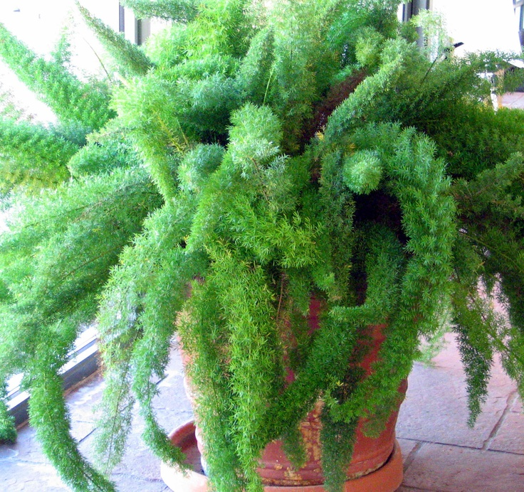 59 best asparagus images on Pinterest Asparagus fern Ferns and
