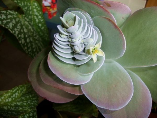 die besten 20+ kalanchoe thyrsiflora ideen auf pinterest, Gartengerate ideen