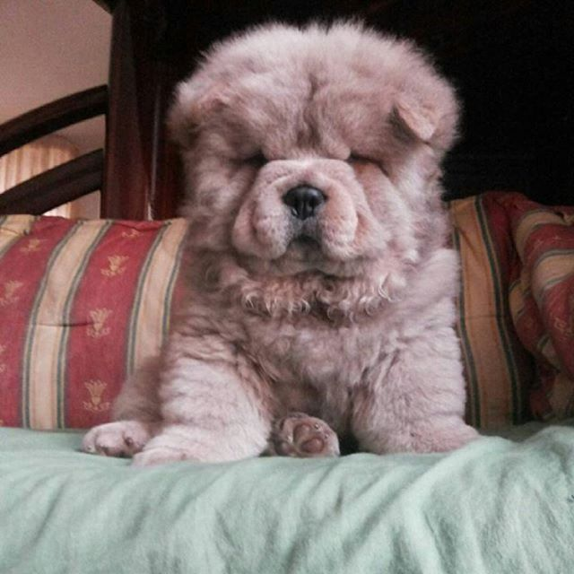 PHoTo : @rachele_c_95  #animals #animal #pets #pet #dogsofinstagram #dog #puppy #instapuppy #puppies #woof #fluffy #paws #cachorro #perro #собака #щенок #anjing #baby #hound #teddybear #love #baby  #babyanimals #hund #chowchow #chowchowpuppy #강아지 #ペット #犬 #개  _____________________________ MY SPESIAL CHOW FRIENDS :  @SDSTaSiuK @DIGSBY_N_CiNDeReLLa_THe_CHoWS  @KHePeLKHaN.CHoWCHoW  TaG YouR FRieNDs :