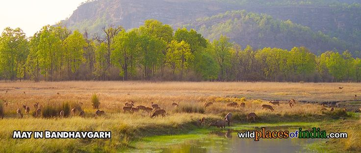 May in Bandhavgarh. Come visit Bandhavgarh. http://wildplacesofindia.com/bandhavgarh-national-park.html