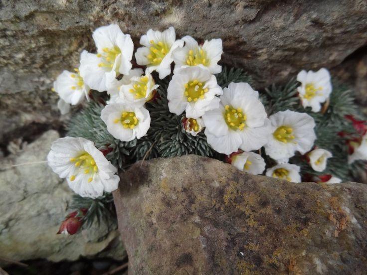 Saxifraga burseriana 'John Tomlinson' [Family: Saxifragaceae]