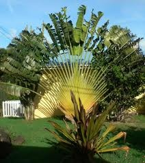 ... China Garden Palm City Fl By 17 Best Images About Palms For The Yard On  ...