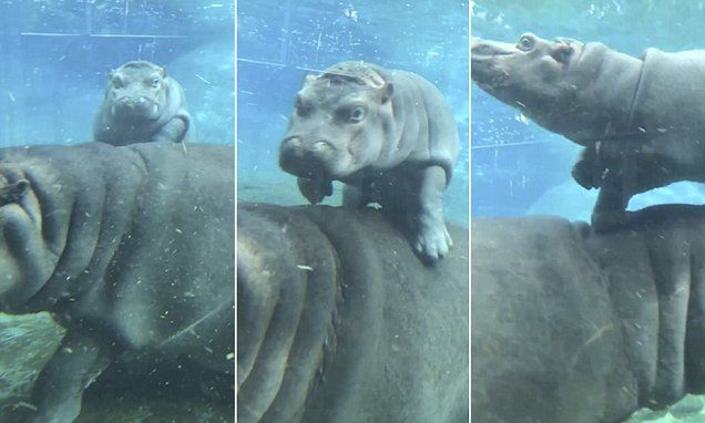 Underwater footage shows Tony the four-month-old hippo