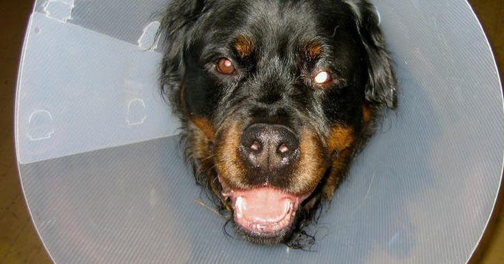 Cómo acostumbrar a tu perro a utilizar un collar isabelino. Un collar isabelino o un E-collar se ve como una pantalla de lámpara que se ajusta alrededor de la cabeza de tu perro y evita que se auto-lastime al lamer o masticar después de una cirugía. Es de uso común después de la esterilización y castración, o si el perro se está recuperando de una lesión en el ojo para impedir que se lo frote. Estos son ...