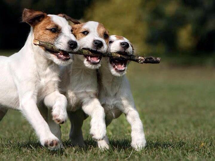 Teamwork! - Jack Russell
