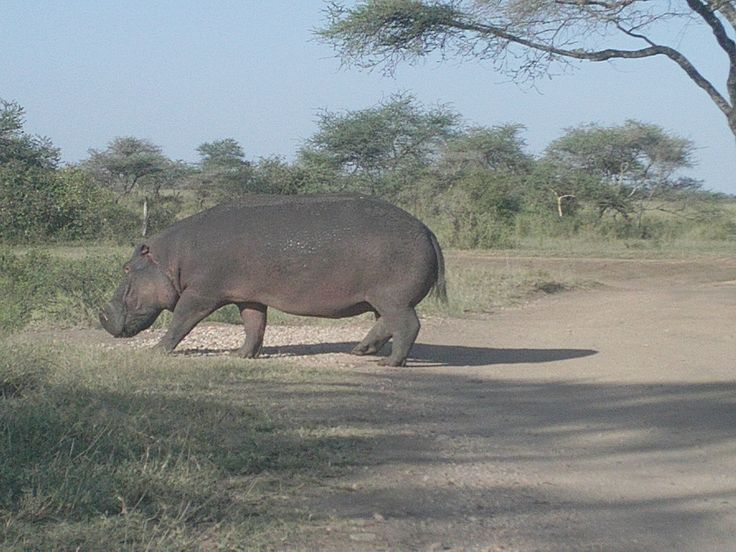 Hippo @ Serengrti national park