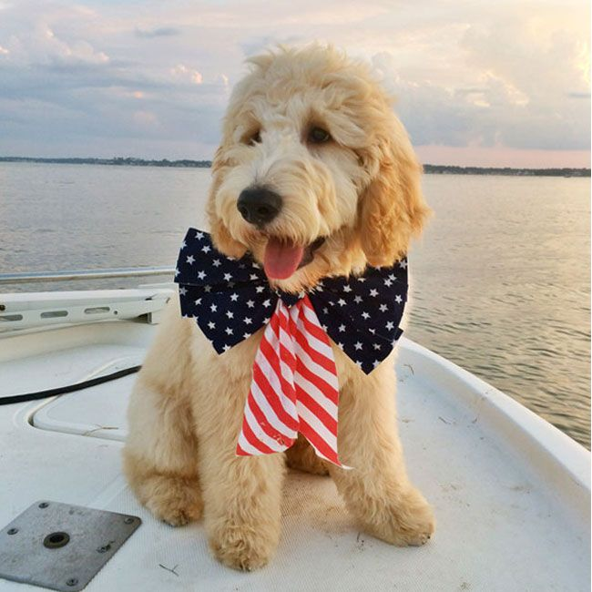 Get to know Fletcher the Goldendoodle on the blog! More cute pups at petanthololy.com #goldendoodle