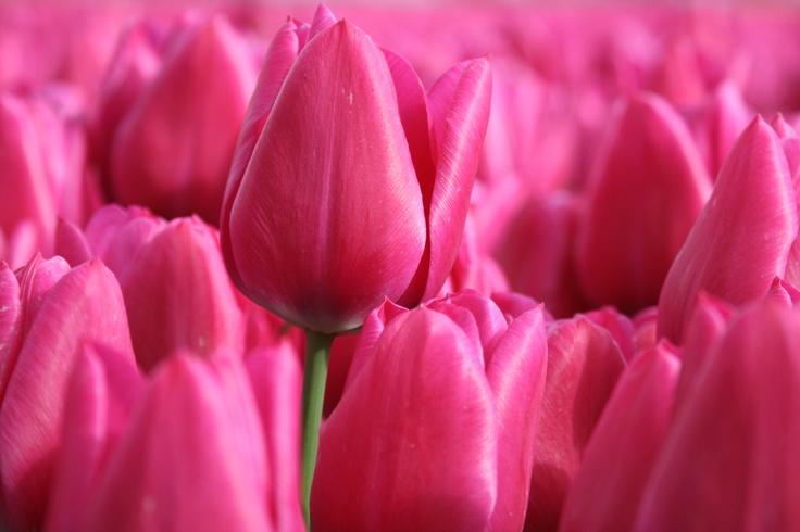 Tulpen velden Close-up