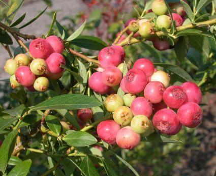 "Blueberry ""Pink Lemonade"" Zone 4-9  Great flavor too!"