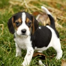 dying for a baby beagle!