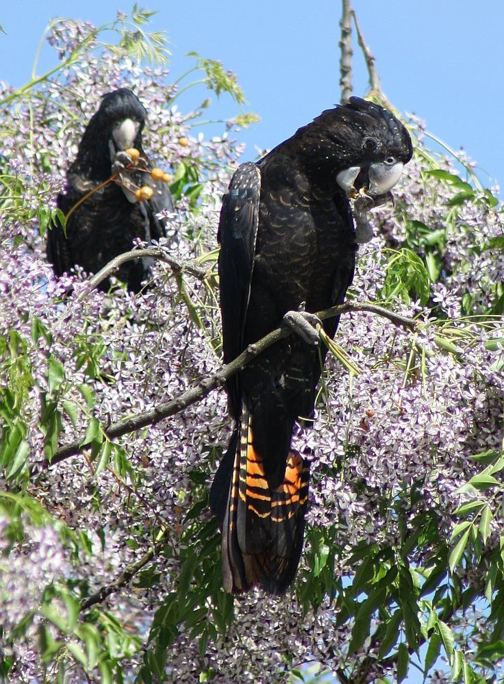 Frontal view of a female Red-tailed Black-Cockatoo.