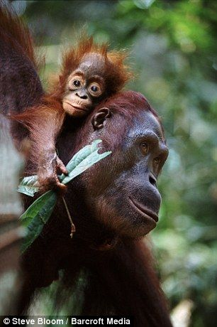 A baby orangutan hitches a lift with her mother in Borneo, Indonesia