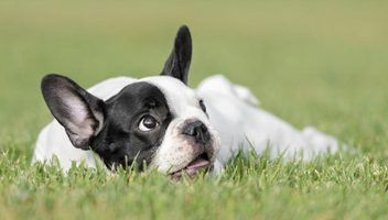 Young French bulldog laying on grass field.