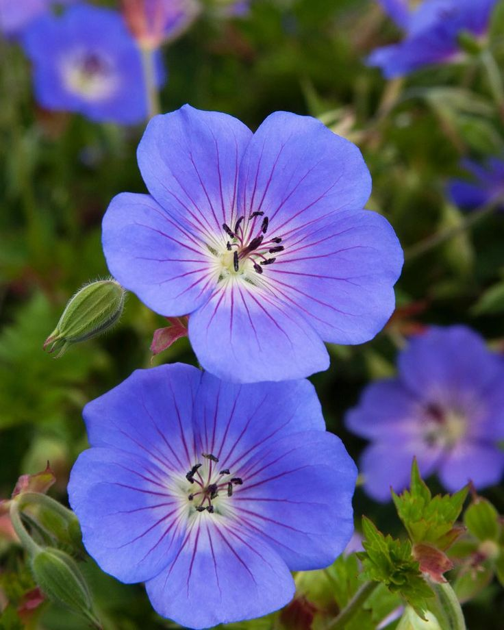 Looking for a great small-scale groundcover for a rock garden? Look no further than Roxanne Cranesbill (a beautiful Geranium). It's dwarf spreading form with dainty violet flowers will show its color for many months.  Zone: 4 - 10  #MonroviaPlants #GrowBeautifully #Rozanne #Cranesbill #Geranium