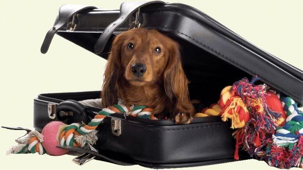 Transportul animalelor de companie, in general, caini si pisici, este la un moment dat o necesitate. Orice persoana care doreste sa plece la drum insotita de prietenul necuvantator, trebuie sa stie ca exista cateva conditii elementare care, ignorate fiind, pot afecta siguranta animalului. Este foarte important ca stapanul sa constientizeze ca in afara mediului natural cu care este obisnuit, un animal poate simti disconfort, dat fiind ca nu este comun sa calatoreasca cu avionul, trenul…