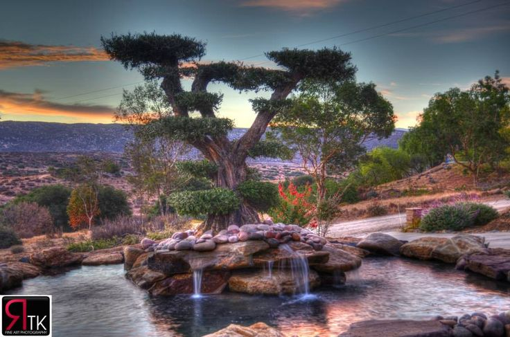 olive tree and koi pond at sunrise here at olive a dream