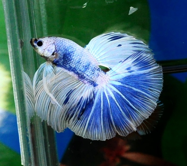 17 best images about my pet betta fish on pinterest for Bloated betta fish