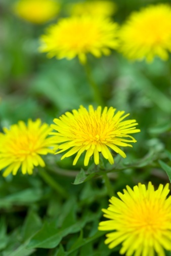 "When i was little i loved dandelions! i thought they were flowers. My daddy would mow around them because the first time he cut the yard i cried because he cut down all my ""flullers"". Our yard was forever spotted with yellow after that. Dandelions always make me smile!"