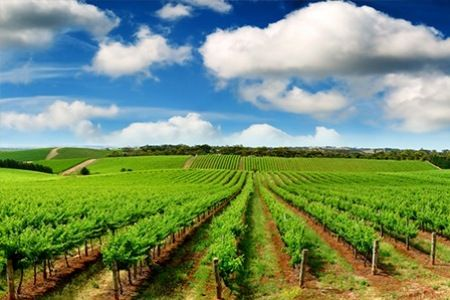 The lush green stretches of the vineyard — at Yarra Valley.