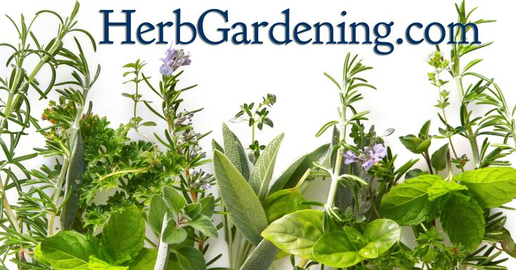 At HerbGardening.com, you'll find a wealth of information on how to grow an herb garden so you can harvest fresh herbs for culinary enhancement in the kitchen or even for medicinal purposes. -