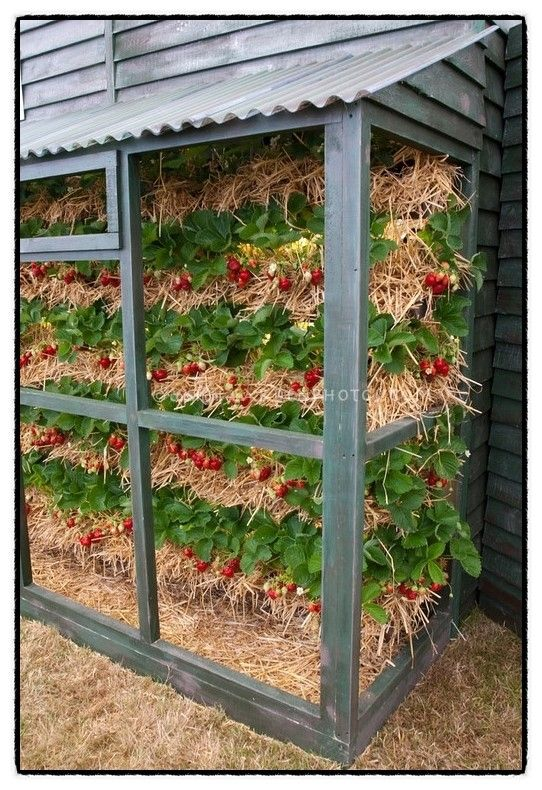 Strawberry straw bale gardening