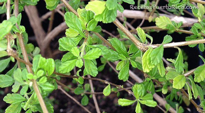 Nombre Científico:Origanum Majorana Es una hierba perenne de la familialamiaceae, cultivada por su uso aromático, que recuerda alpinoy a loscítric