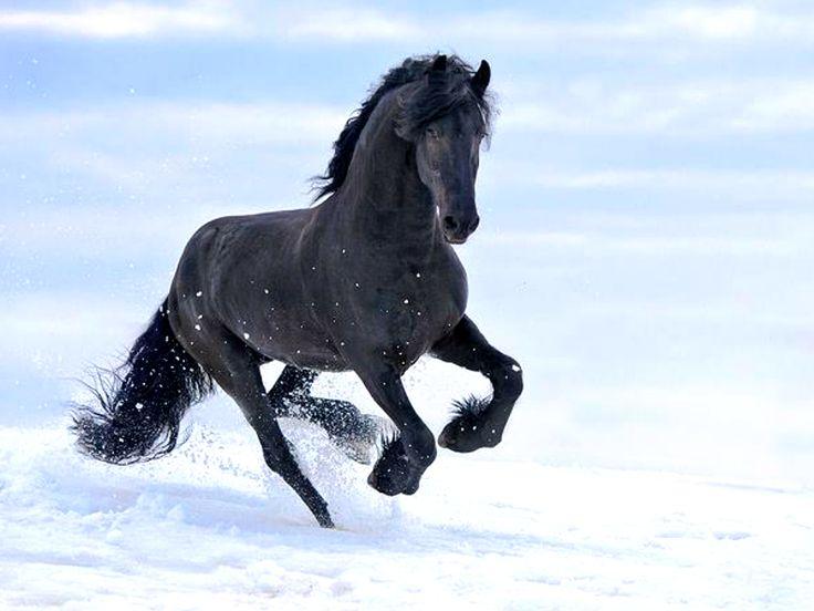 black fresian horse wallpapers | schwarzes pferd im schnee